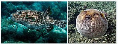 Enneagram type 8 is similar to pufferfish